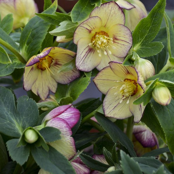 HELLEBORUS HONEYMOON TROPICAL SUNSET LENTEN ROSE