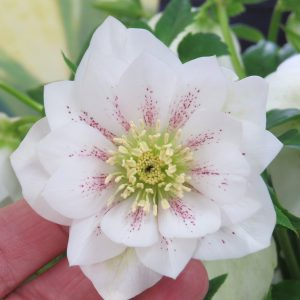 HELLEBORUS WEDDING PARTY CONFETTI CAKE LENTEN ROSE