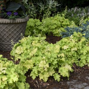 HEUCHERA DOLCE APPLE TWIST CORAL BELLS