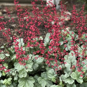 HEUCHERA DOLCE SPEARMINT CORAL BELLS
