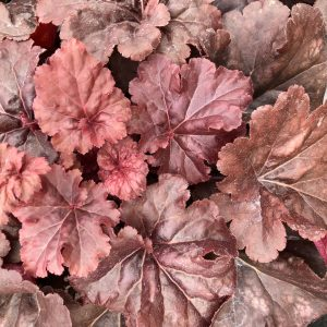 HEUCHERA PRIMO MAHOGANY MONSTER CORAL BELLS