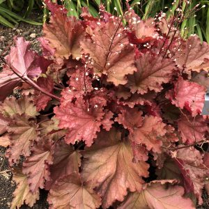 HEUCHERA PRIMO PEACHBERRY ICE CORAL BELLS