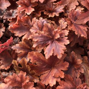 HEUCHERELLA FUN AND GAMES HOPSCOTCH FOAMY BELLS