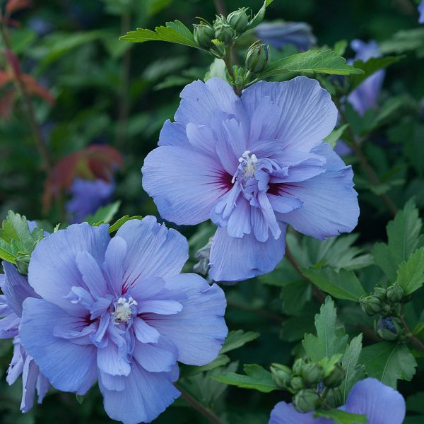 HIBISCUS BLUE CHIFFON ROSE OR SHARON