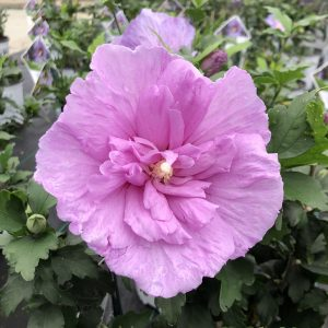 HIBISCUS LAVENDER CHIFFON ROSE OF SHARON