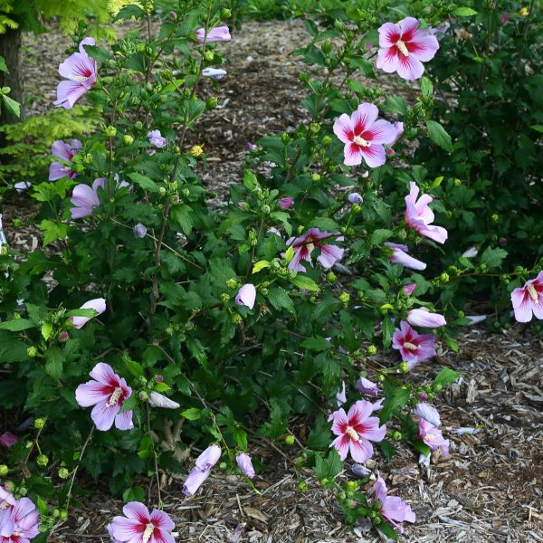 HIBISCUS ORCHID SATIN ROSE OF SHARON