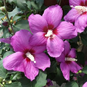 HIBISCUS PURPLE SATIN ROSE OF SHARON