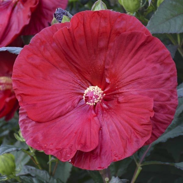 HIBISCUS SUMMERIFIC CRANBERRY CRUSH ROSE MALLOW