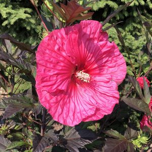 HIBISCUS SUMMERIFIC EVENING ROSE ROSE MALLOW