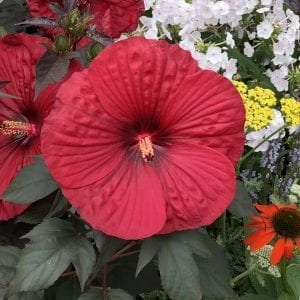 HIBISCUS SUMMERIFIC HOLY GRAIL ROSE MALLOW