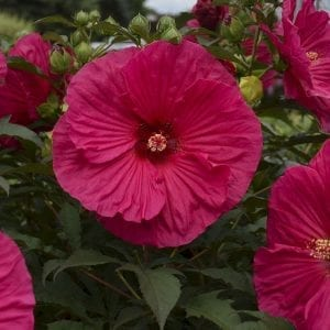 HIBISCUS SUMMER IN PARADISE ROSE MALLOW
