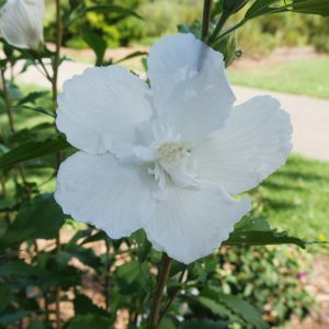 HIBISCUS WHITE PILLAR ROSE OF SHARON