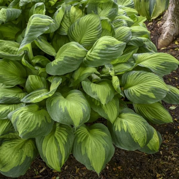 HOSTA CAPTAIN KIRK HOSTA