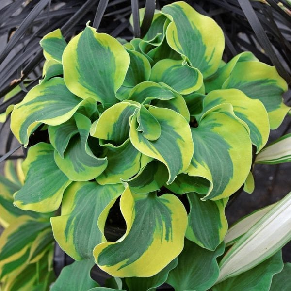 HOSTA SCHOOL MOUSE HOSTA