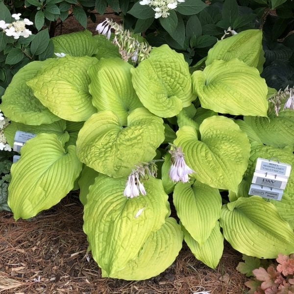 HOSTA SHADOWLAND COAST TO COAST HOSTA