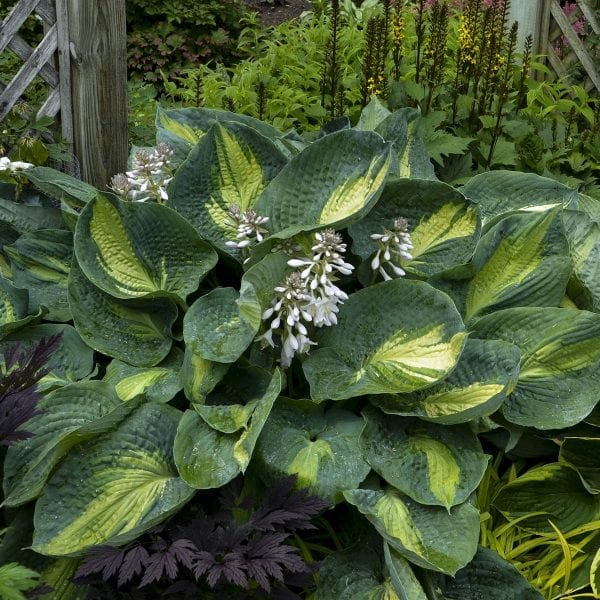HOSTA SHADOWLAND HUDSON BAY HOSTA