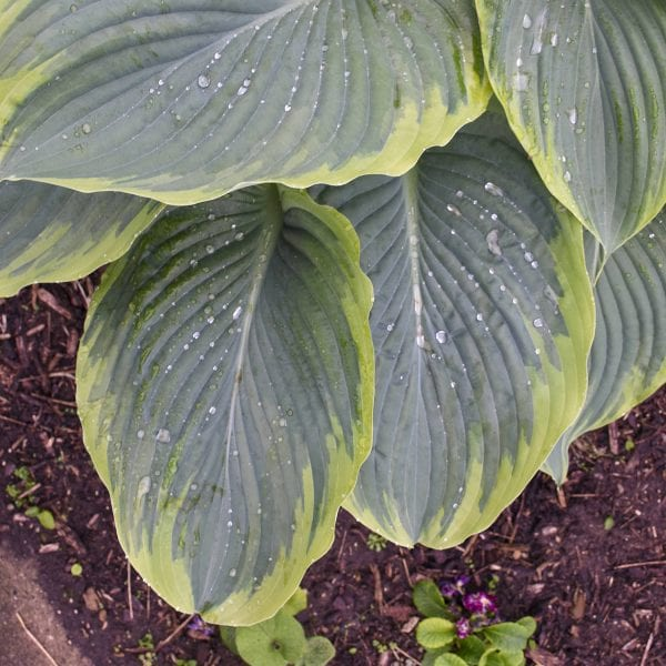 HOSTA SHADOWLAND WU LA LA HOSTA