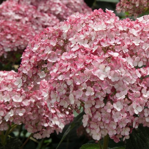 HYDRANGEA INCREDIBALL BLUSH SMOOTH HYDRANGEA