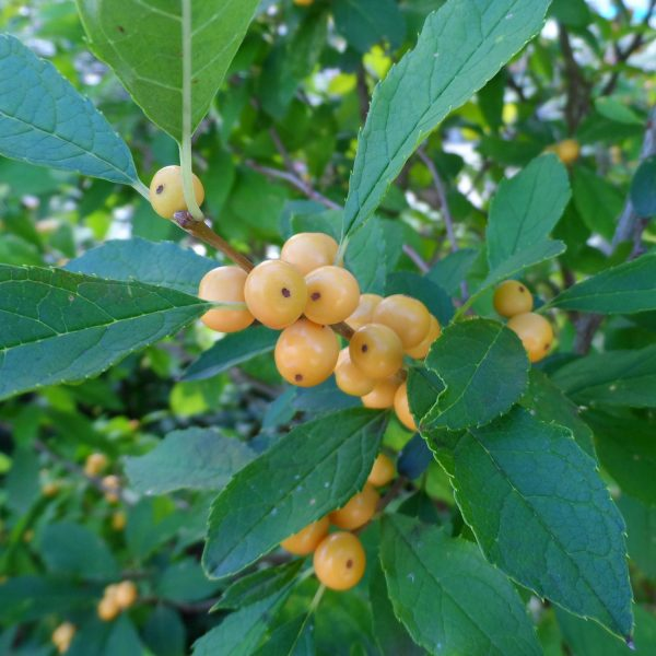 ILEX BERRY HEAVY GOLD WINTERBERRY HOLLY