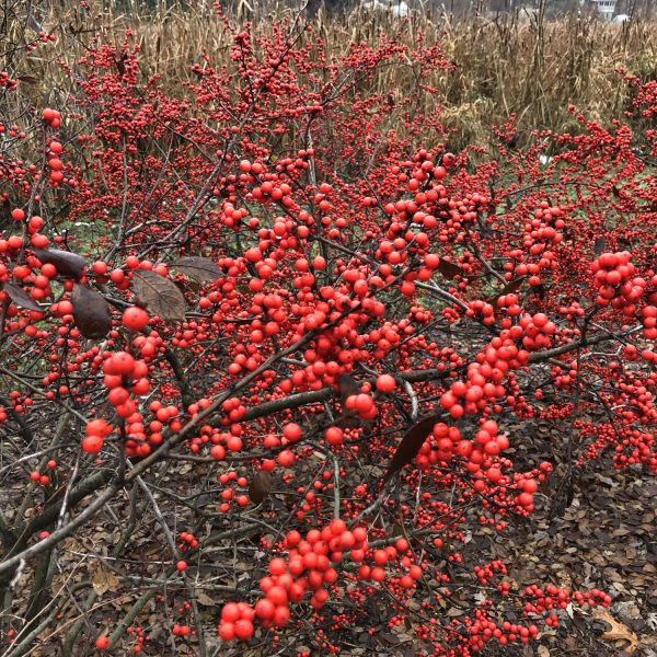 ILEX BERRY HEAVY WINTERBERRY HOLLY