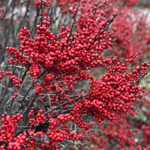 ILEX BERRY POPPINS WINTERBERRY HOLLY