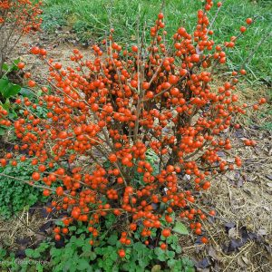 ILEX LITTLE GOBLIN ORANGE WINTERBERRY HOLLY