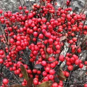 Holly Winterberry - Ilex
