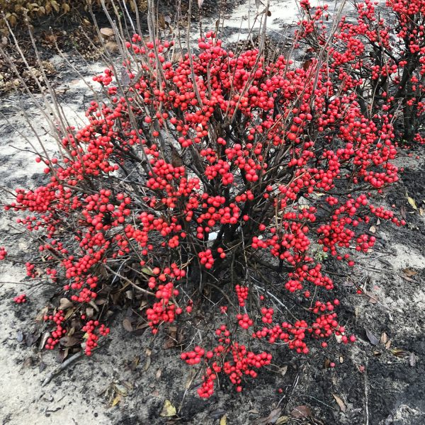 ILEX LITTLE GOBLIN RED WINTERBERRY HOLLY