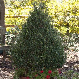 Holly Japanese - Ilex