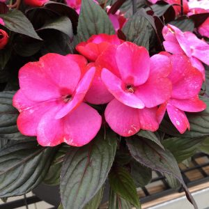 IMPATIENS INFINITY BLUSHING LILAC NEW GUINEA IMPATIENS