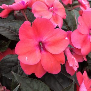 IMPATIENS INFINITY DEEP ROSE NEW GUINEA IMPATIENS