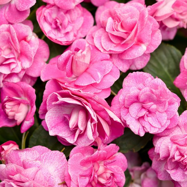 IMPATIENS ROCKAPULCO ROSE DOUBLE IMPATIENS