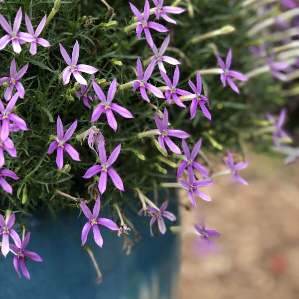 ISOTOMA PATTIS PINK STAR FLOWER