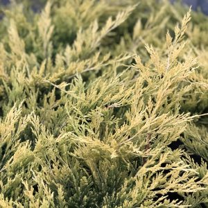 JUNIPERUS GOOD VIBRATIONS GOLD JUNIPER