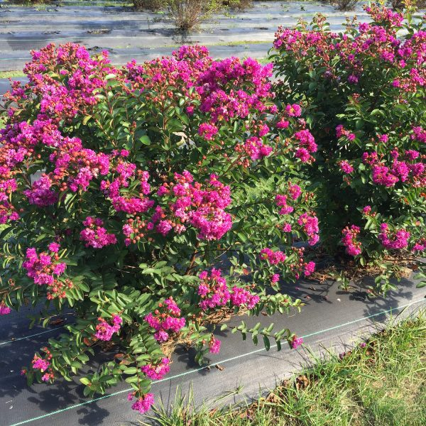 LAGERSTROEMIA INFINITINI PURPLE CRAPEMYRTLE