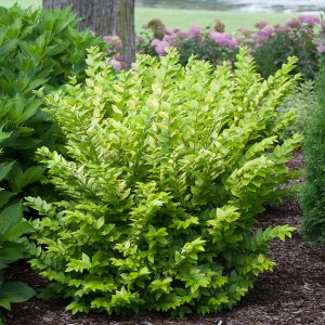 LIGUSTRUM GOLDEN TICKET PRIVET