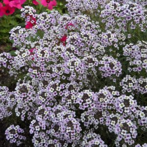 LOBULARIA BLUSHING PRINCESS SWEET ALYSSUM