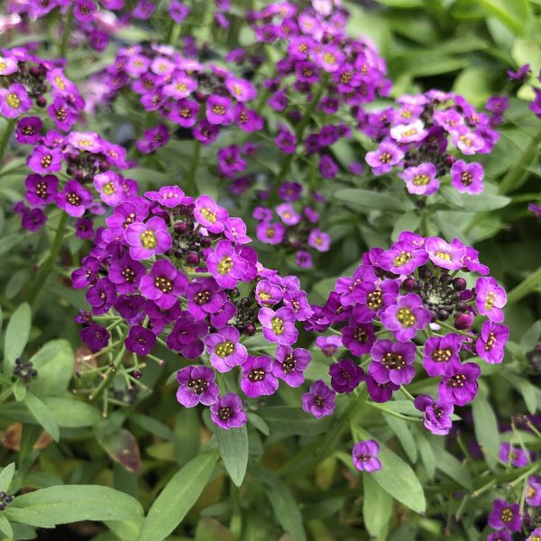 LOBULARIA DARK KNIGHT SWEET ALYSSUM