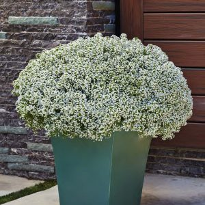 LOBULARIA WHITE KNIGHT SWEET ALYSSUM