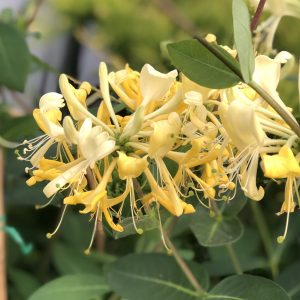 LONICERA SCENTSATION HONEYSUCKLE