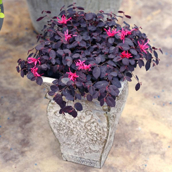 LOROPETALUM JAZZ HANDS MINI CHINESE FRINGE FLOWER