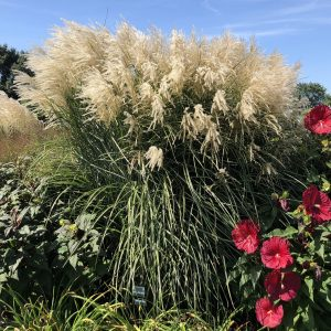 MISCANTHUS ENCORE ORNAMENTAL GRASS