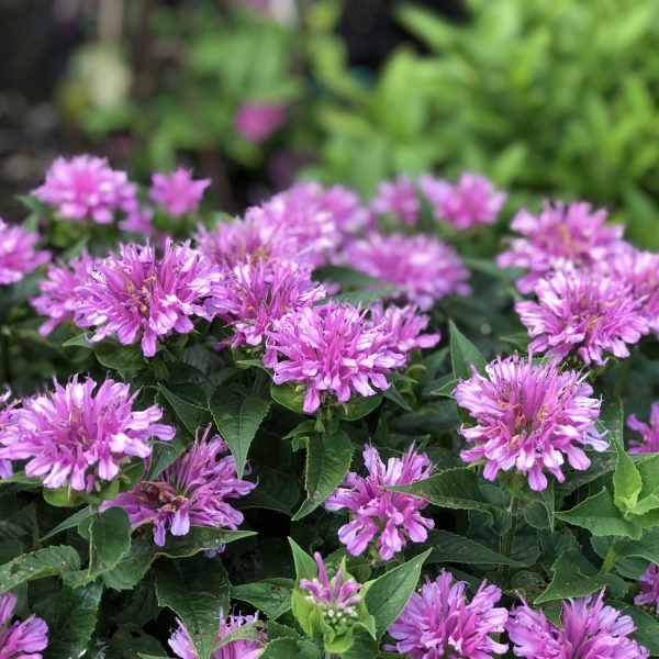 MONARDA LEADING LADY ORCHID BEE BALM