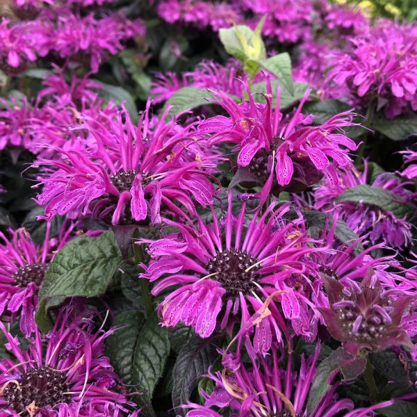 MONARDA LEADING LADY PLUM BEE BALM