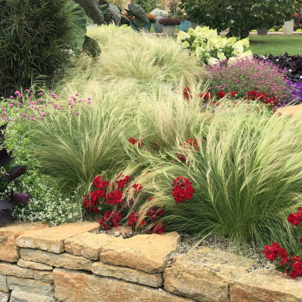 NASELLA MEXICAN FEATHER GRASS STIPA