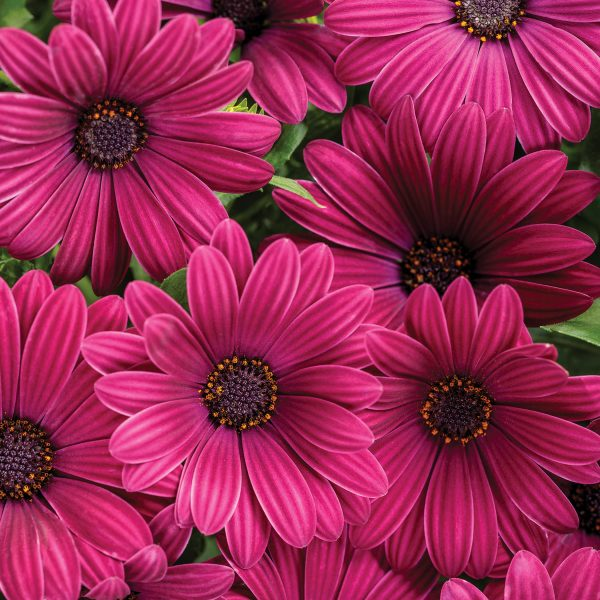 OSTEOSPERMUM BRIGHT LIGHTS PURPLE AFRICAN DAISY
