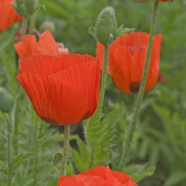 PAPAVER PRINCE OF ORANGE ORIENTAL POPPY