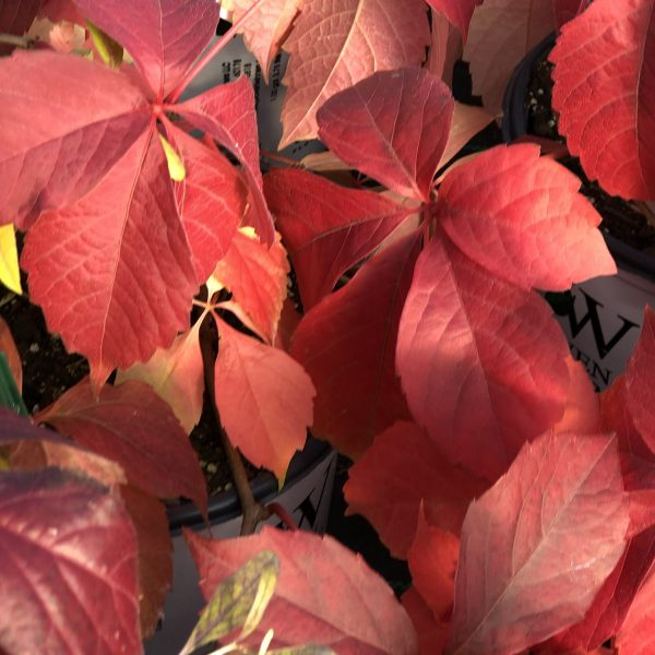 PARTHENOCISSUS RED WALL VIRGINIA CREEPER
