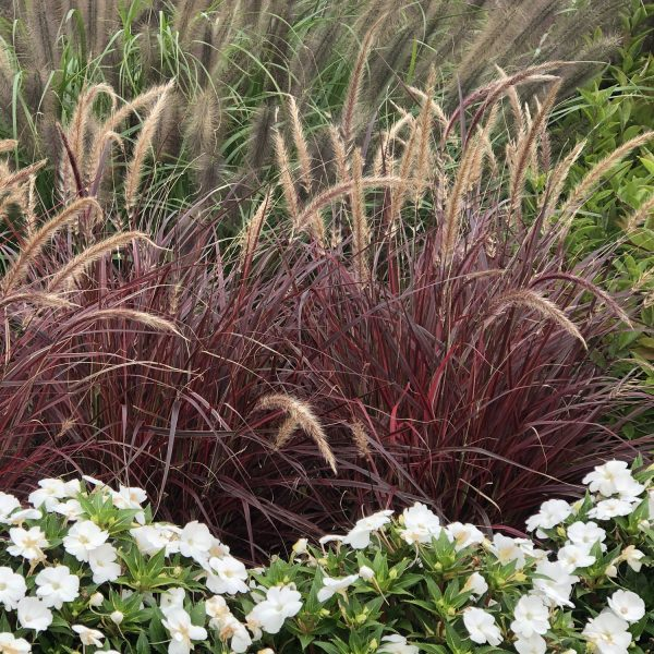 PENNISETUM GRACEFUL GRASSES FIREWORKS FOUNTAIN GRASS VARIEGATED RED