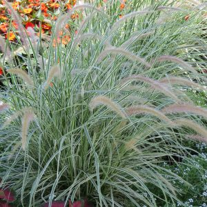 PENNISETUM GRACEFUL GRASSES SKY ROCKET FOUNTAIN GRASS